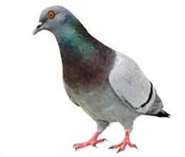 Encounter With Pigeon On Military Ridge >> Pigeon Control Products Nixalite