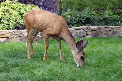 Deer Grazing in yard