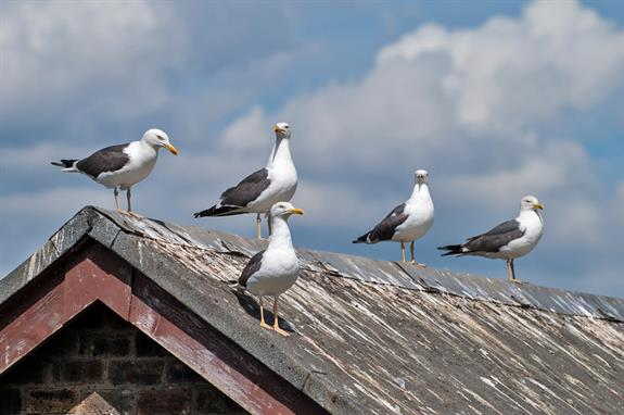 seagulls on dirty roof