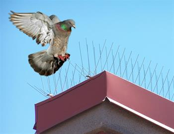 Birds Take Fight from Nixalite Bird Spikes