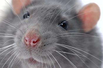 Rat face close up photo