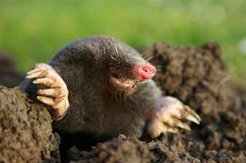 Mole Out Mole Repellent Granules