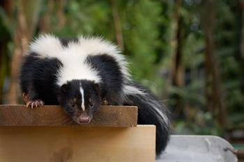 Spray Proof Skunk Trap
