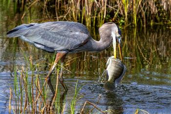 Heron taking fish