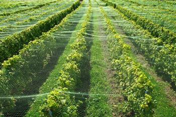 Vineyard Netting over crops