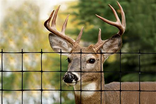 Buck behind fence